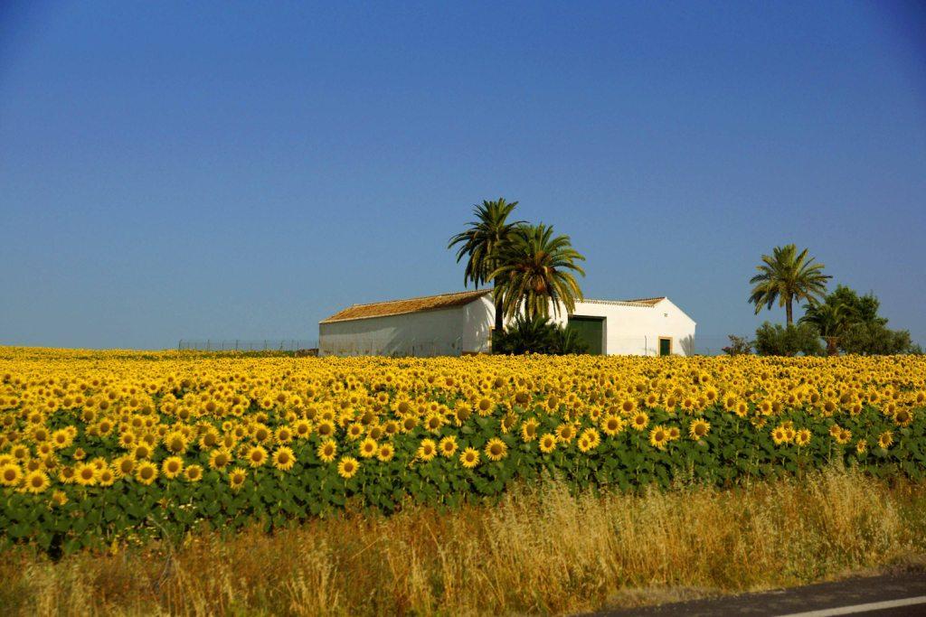 アンダルシアのひまわり畑  スペイン