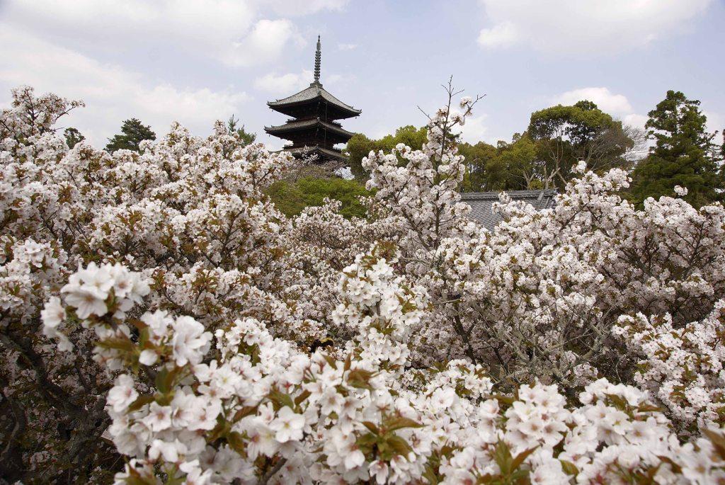 御室 仁和寺の桜